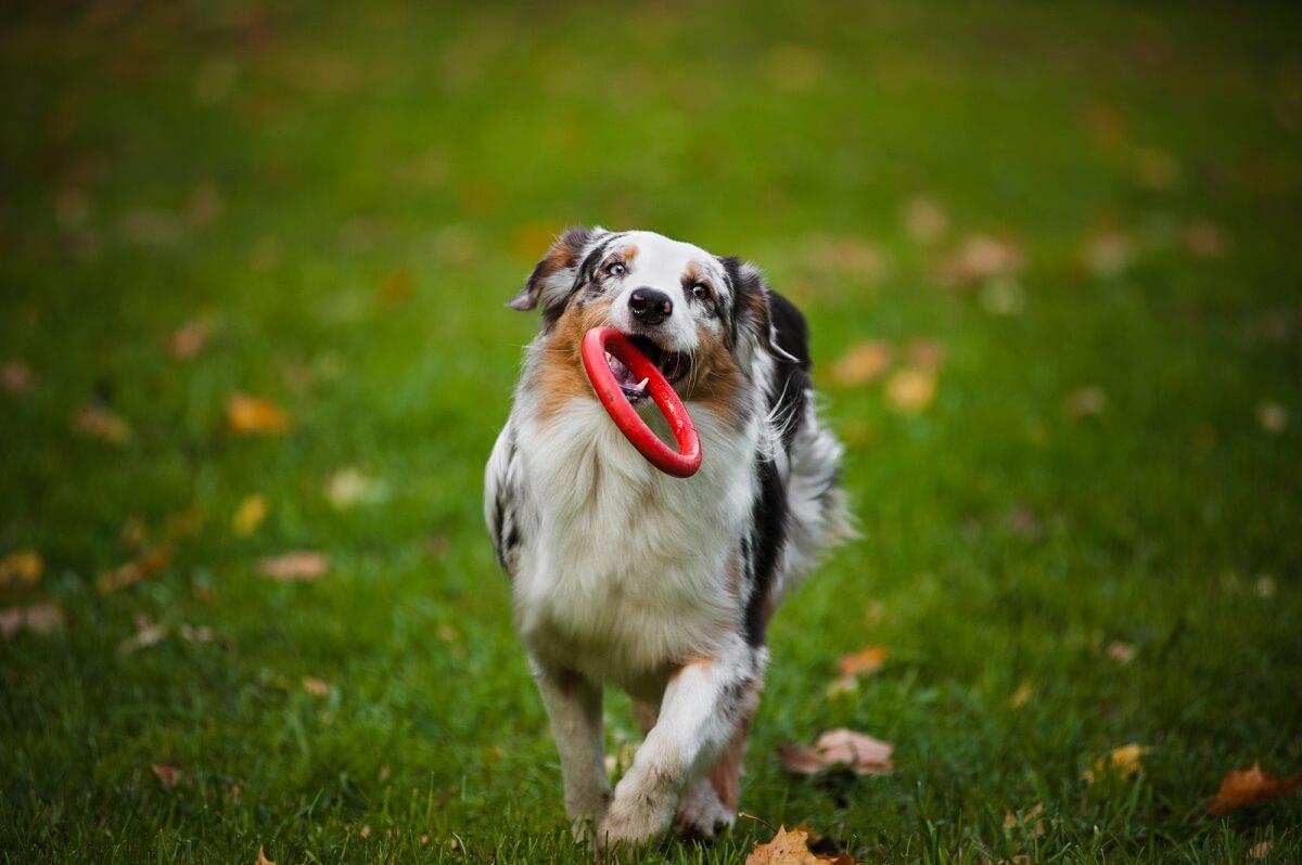 Welcher Hund passt zu mir? Aktive Hunde wie ein Australian Shepherd brauchen viel Sport und Aktivitäten