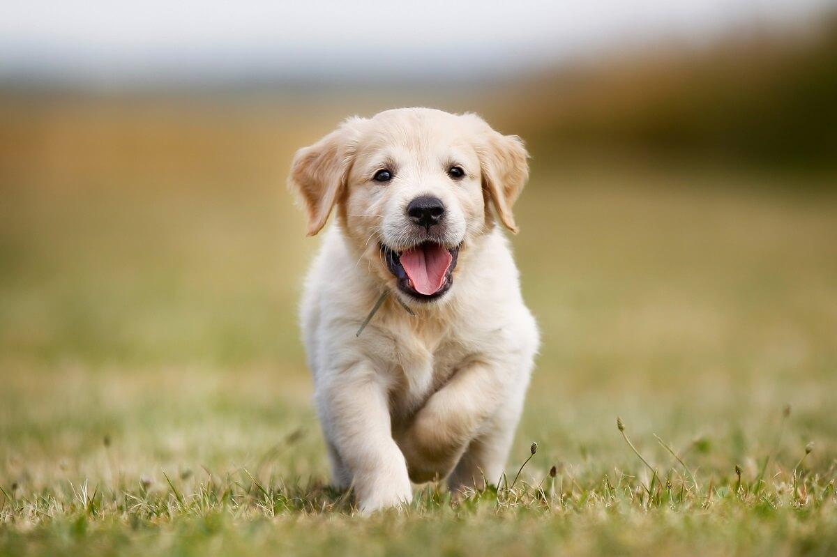 Welcher Hund passt zu mir? Familienhunde wie der Golden Retriever sind sehr kinderfreundlich