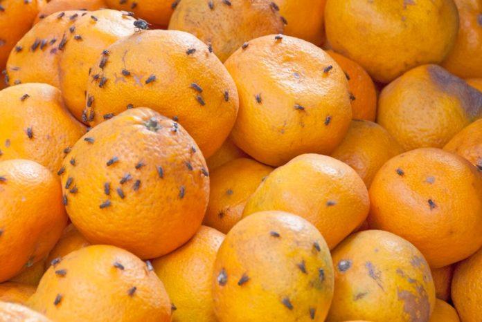 Fruchtfliegen lieben fauliges Obst und offen stehende Getränke