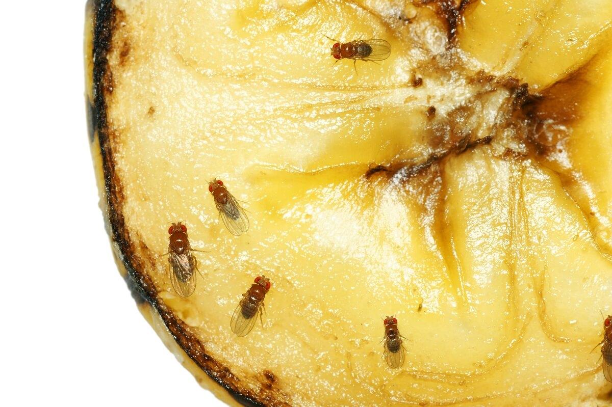 Gerade Obst, welches fault und offen herumliegt, sind bei Fruchtfliegen sehr beliebt