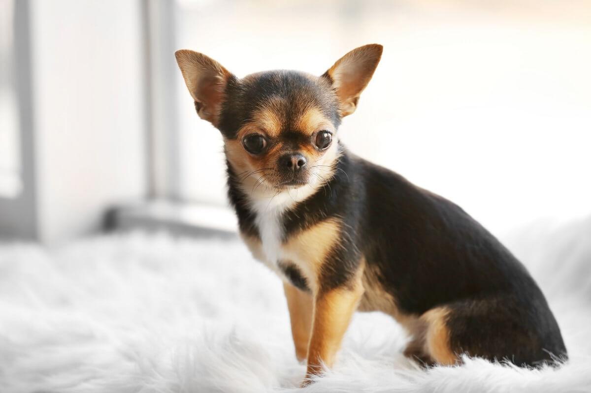 Welcher Hund passt zu mir? Gesellschaftshunde wie Chihuahuas sind ideal für Personen und Familien, die viel Zeit haben