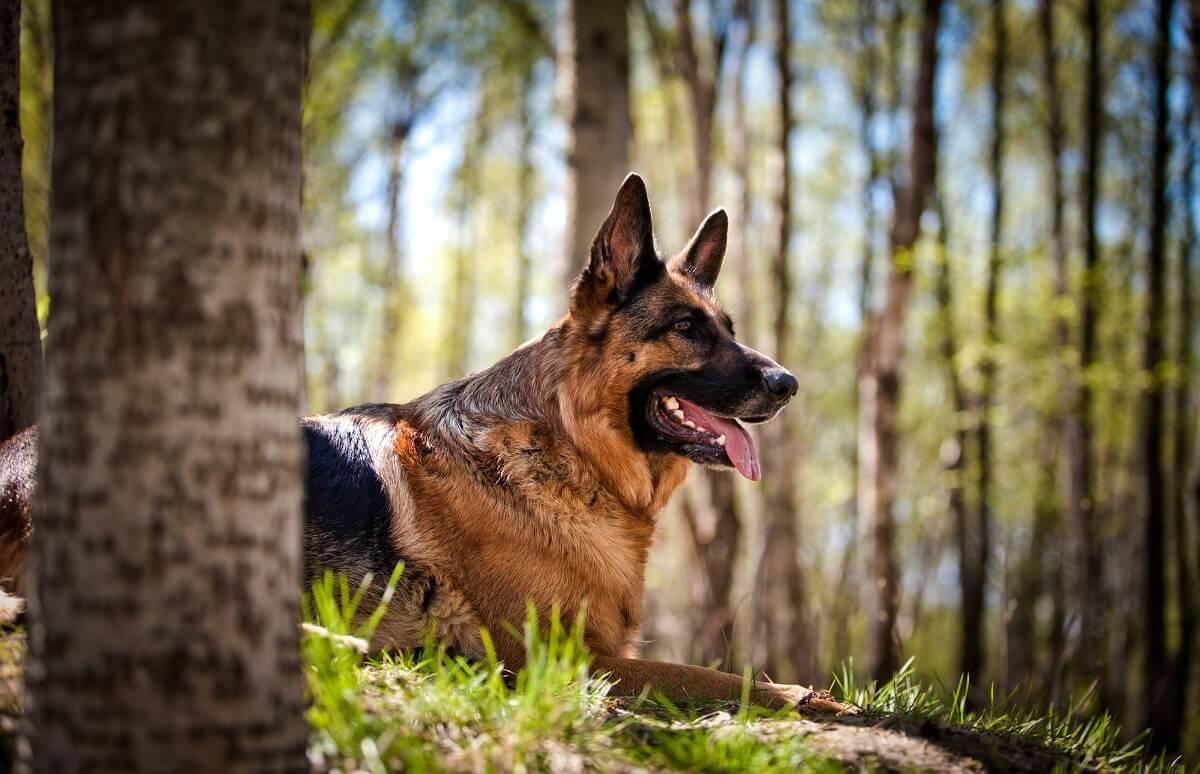 Welche Hunderasse passt zu mir? Große Hunde wie der deutsche Schäferhund lassen sich gut zum Schutzhund ausbilden und sind häufig bei der Polizei im Einsatz
