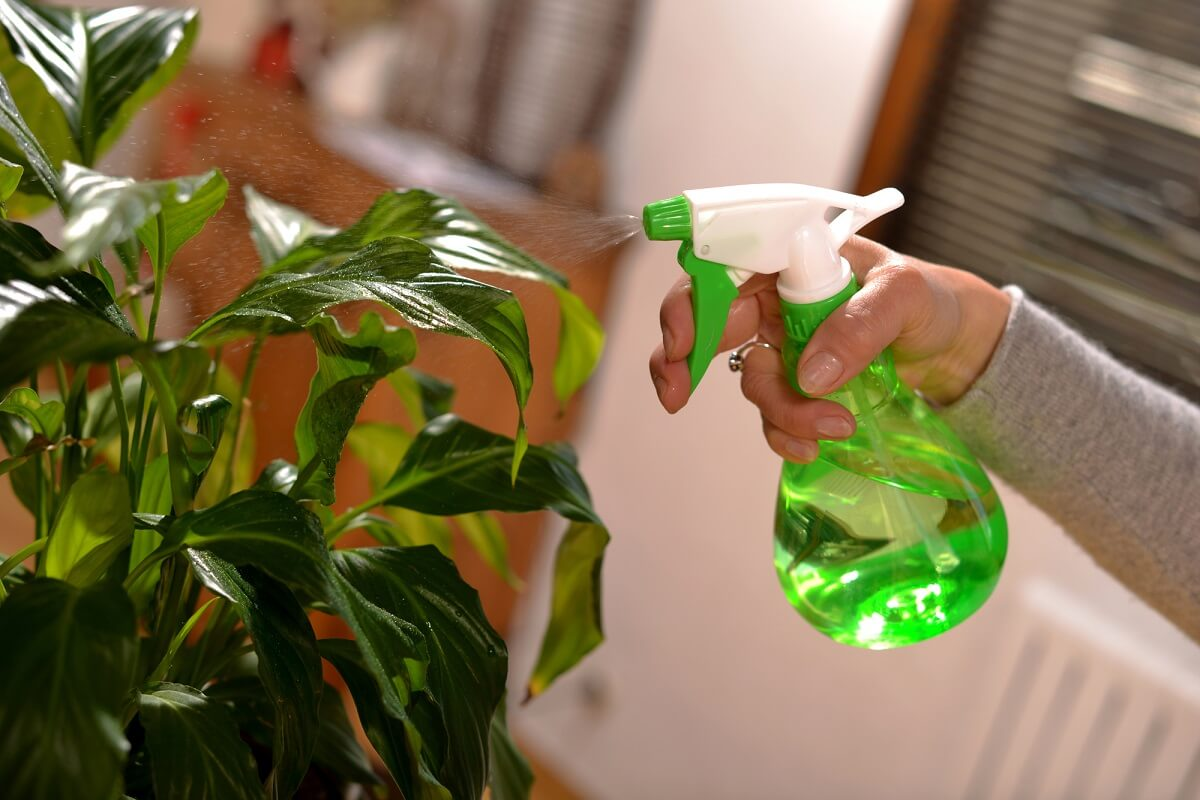 Ist die Pflanze von Blattläusen befallen, helfen einige Hausmittel bei der Bekämpfung