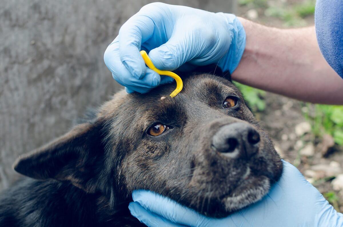 Auch Hunde und Katzen sollten regelmäßig nach Zecken abgesucht werden