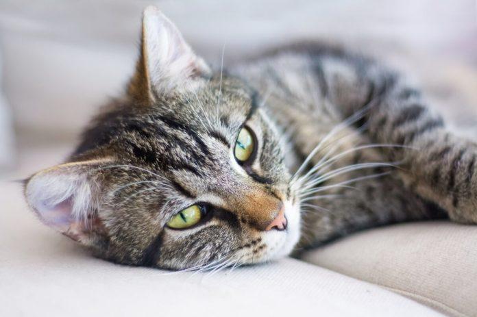 Die meisten Auslöser für Schuppen bei Katzen sind harmlos, sollten dennoch zur Sicherheit überprüft werden