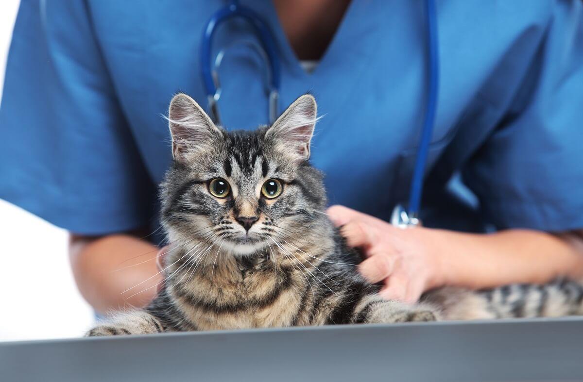 Wenn Ihre Katze Schuppen hat, sollten Sie in jedem Fall einen Tierarzt für die Diagnose der Ursache aufsuchen
