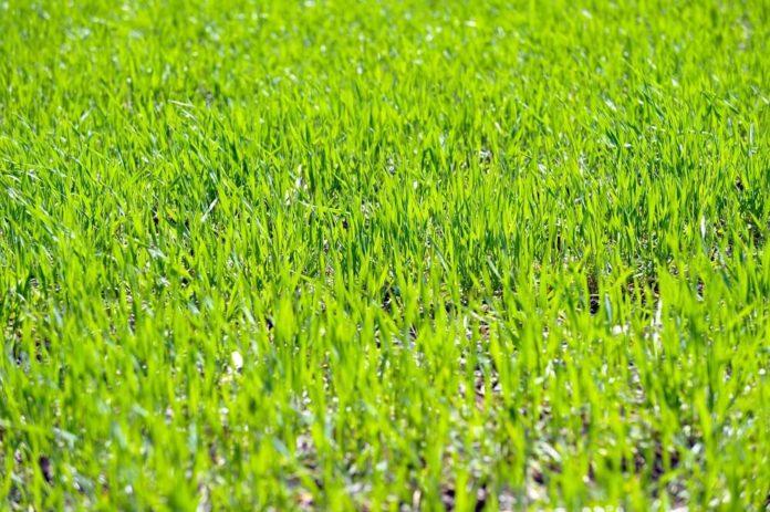 Rasen anlegen Anleitung - So klappt es mit dem satten Grün im Garten