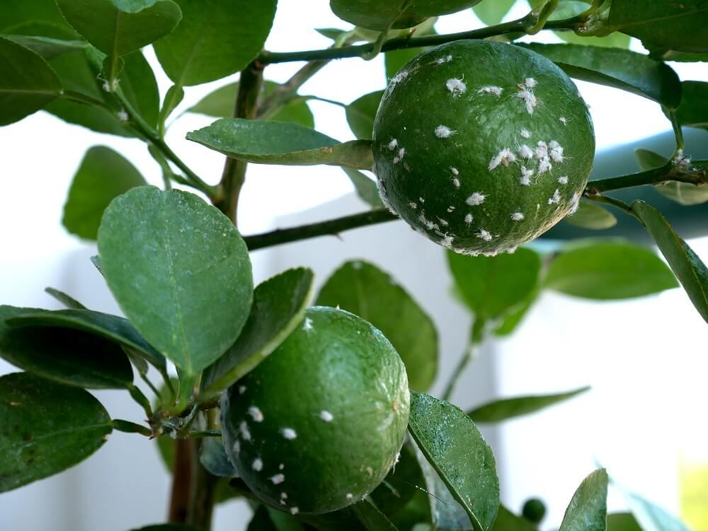Schmierläuse sind kleine, weiße Schädlinge, die sich gerne auf Pflanzen und Bäumen vermehren
