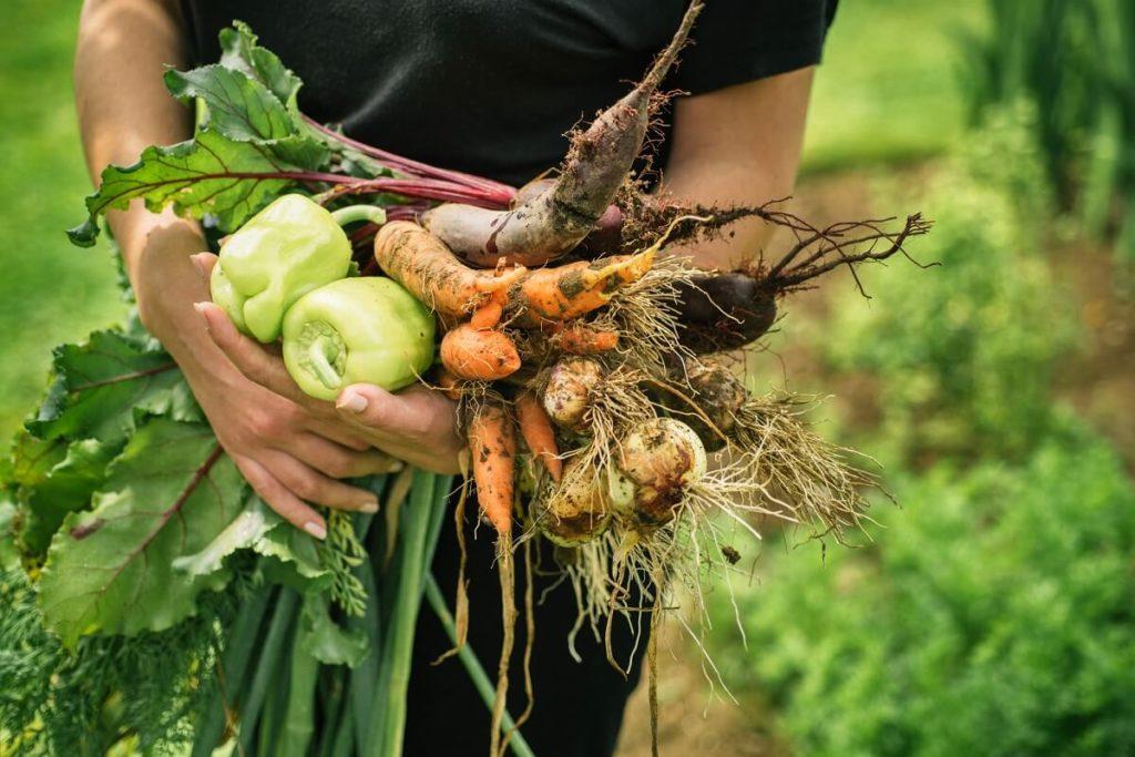 Selber geerntetes Gemüse aus dem eigenen Gemüsegarten ist nicht nur frischer, sondern schmeckt meistens auch besser