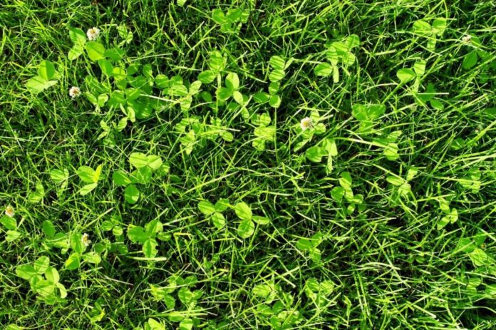 Weil's dreiblättrig kein Glück bringt: Was hilft gegen Klee im Rasen?