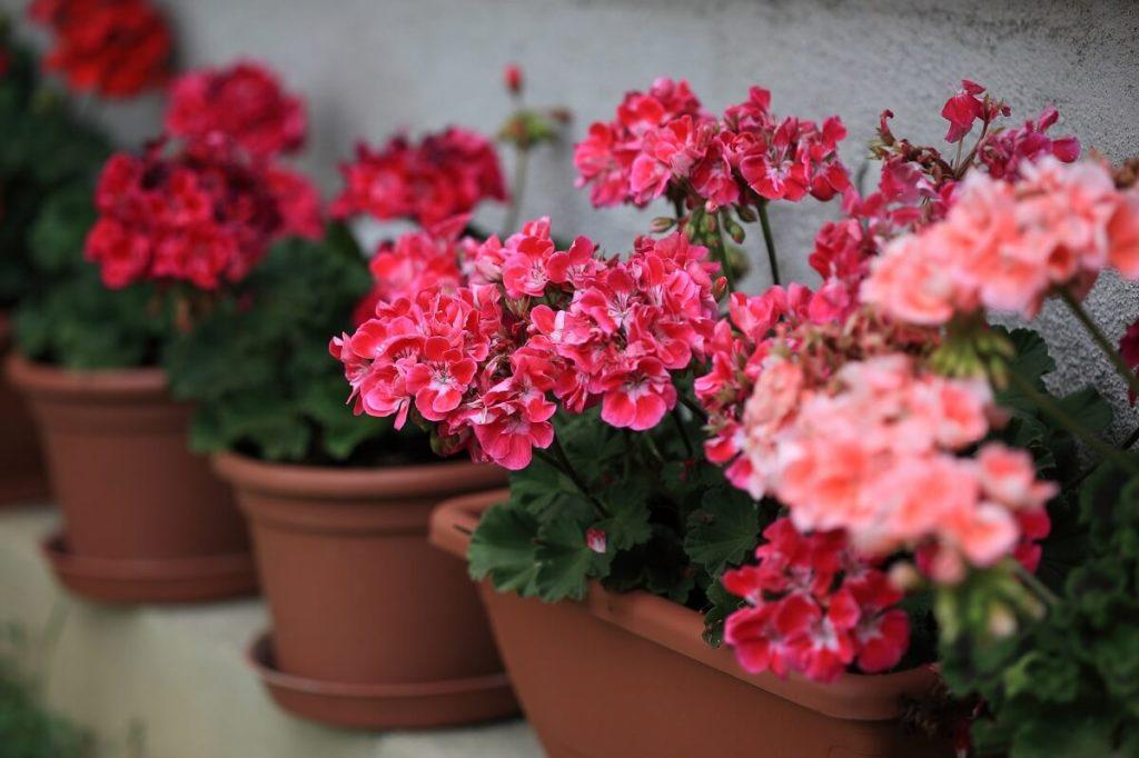 Geranien überwintern im Blumenkasten oder Kübel ideal
