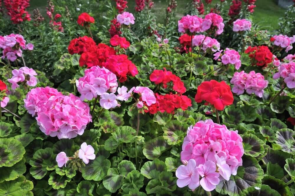 Geranien sind beim richtigen Überwintern wunderschöne mehrjährige Pflanzen - ob im Garten oder im Blumenkasten